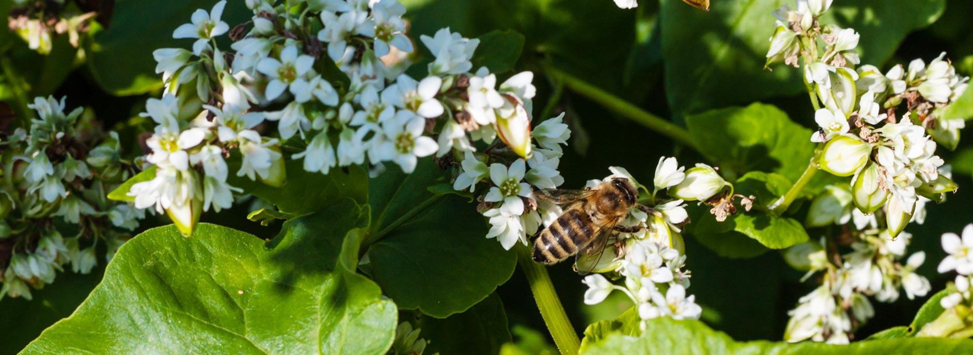 Biene sammelt Nahrung auf Buchweizenblüte