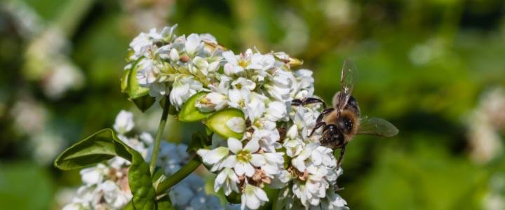 BUCHWEIZEN - Der Biene zuliebe -