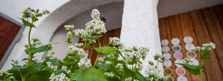 Buchweizen als Kübelpflanze - Der Biene zuliebe - Landwirt Kastenberger