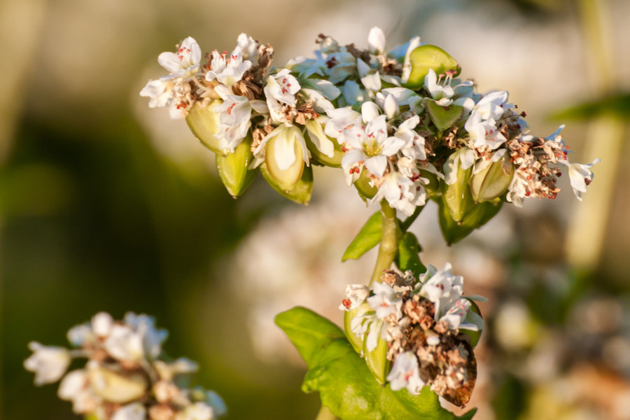 Buchweizen - Der Biene zuliebe, dem Boden zugute