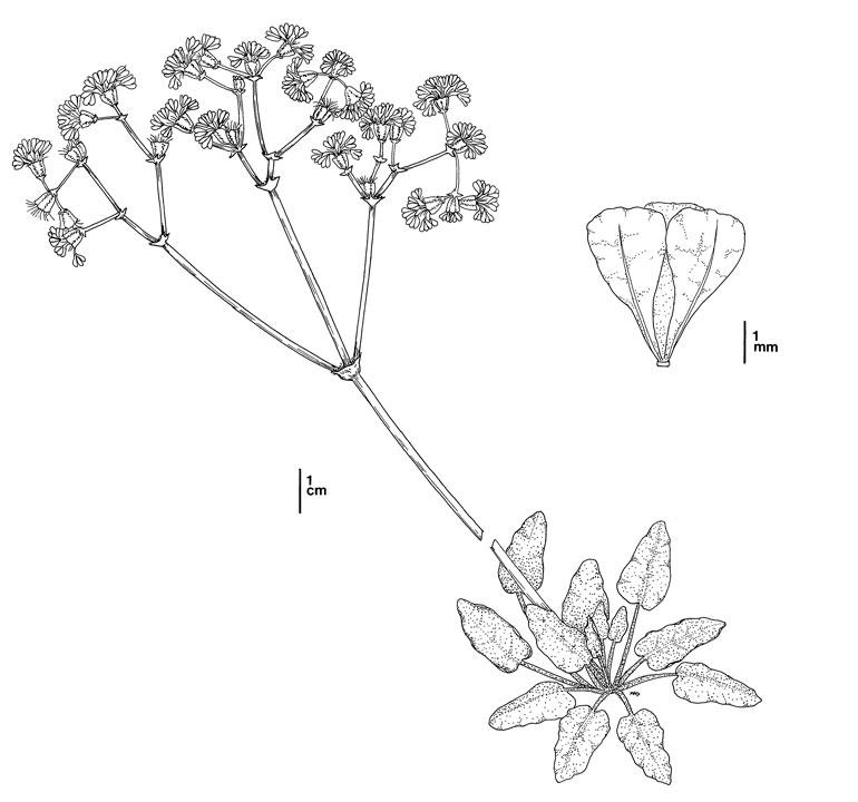 Buchweizen - Fagopyrum esculentum