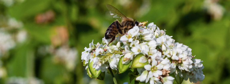 Buchweizen - Der Biene zuliebe