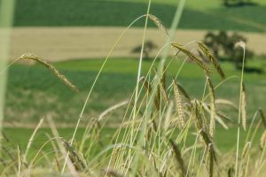 Waldstaudekorn | Dem Boden zugute | Landwirt Kastenberger