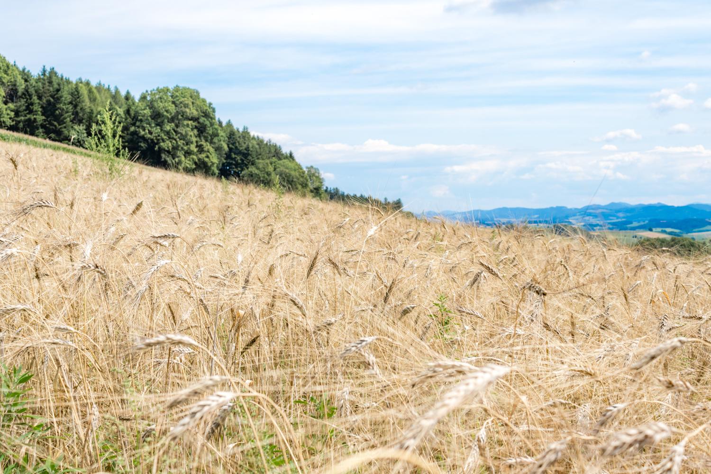 Urmut Feld (auch bekannt als Kamut oder Khorasanweizen) - Landwirt Kastenberger